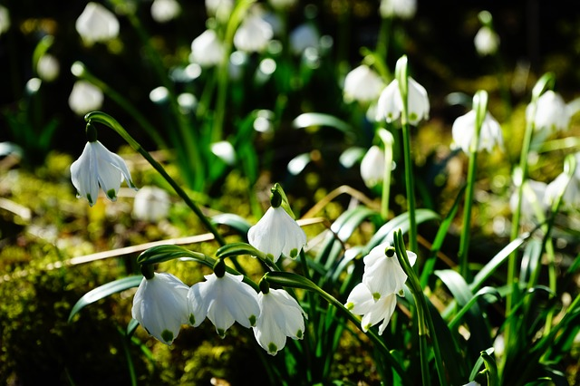 Frühlingsbote Märzenbecher